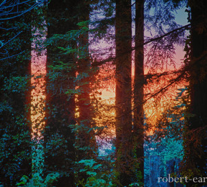 Photo-Contest-2013-HM-Robert_Earle-ThroughTheRedwoods-large-300x270