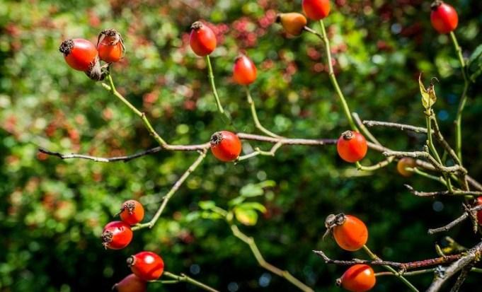 rosehips-wtml-1078928-ben-lee